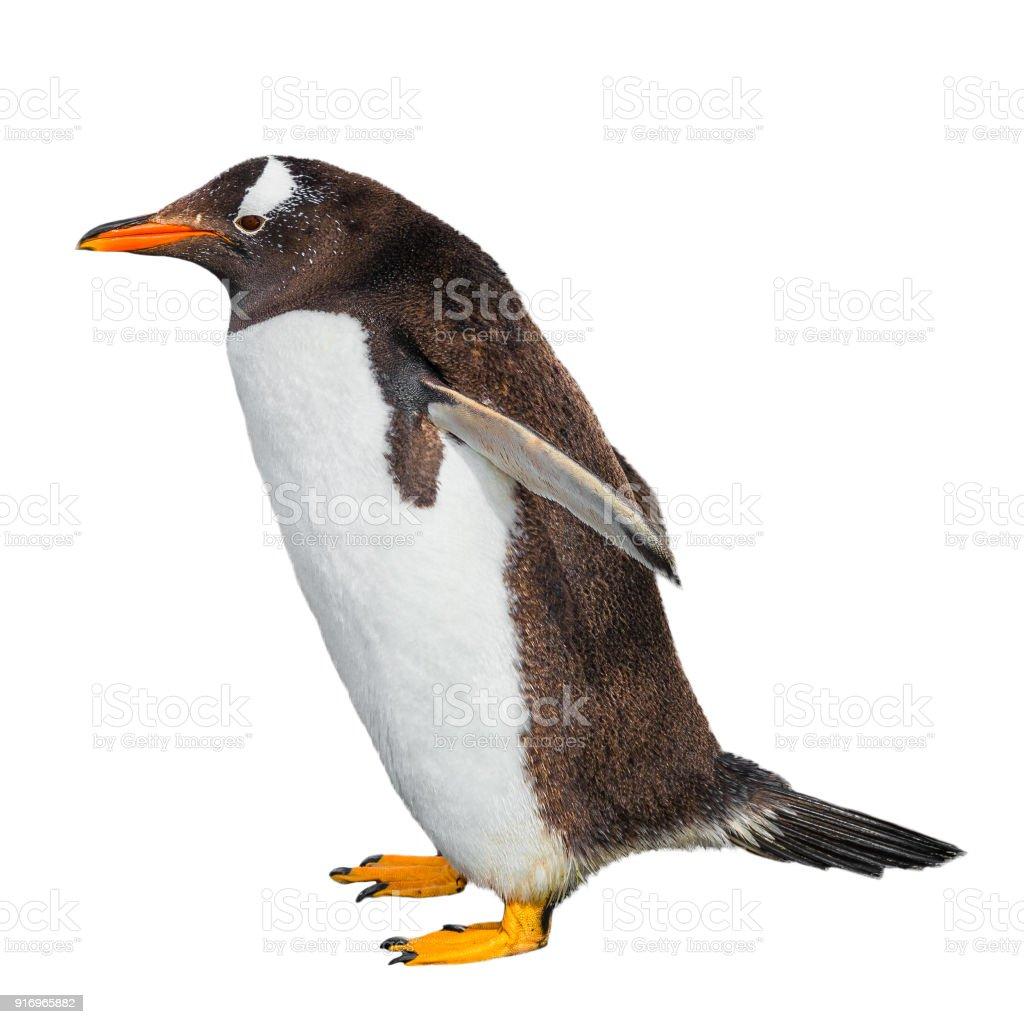 Fotografía de Gracioso Pingüino Aislado En Fondo Blanco Canal De ...