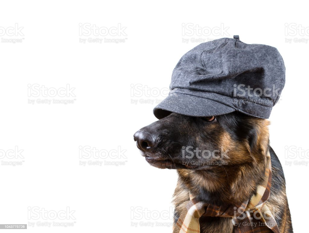 Funny German Shepherd Wearing A Scarf And A Cap Concealing Its Eyes