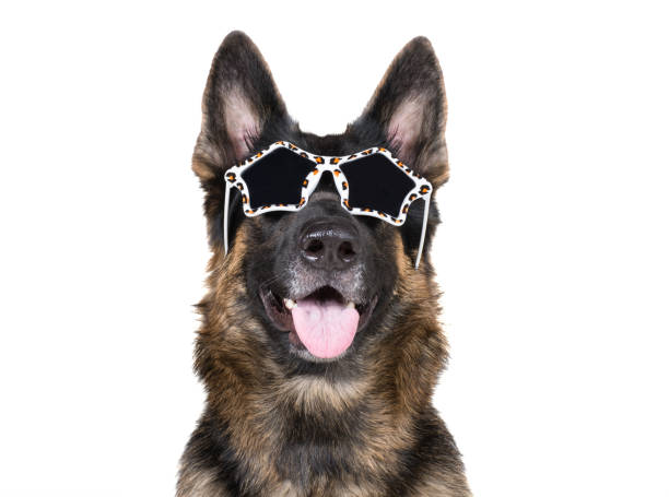 funny german shepherd wearing glamorous leopard print sunglasses - fame stock pictures, royalty-free photos & images