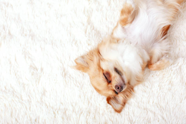Funny ginger chihuahua on white carpet stock photo