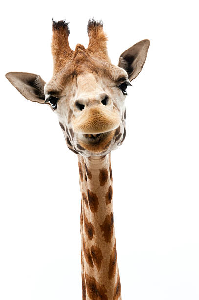 funny girafe - girafe photos et images de collection