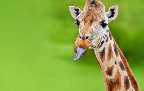 funny giraffe sticks out tongue close-up photo of a giraffe sticking out its tongue sticking out tongue stock pictures, royalty-free photos & images