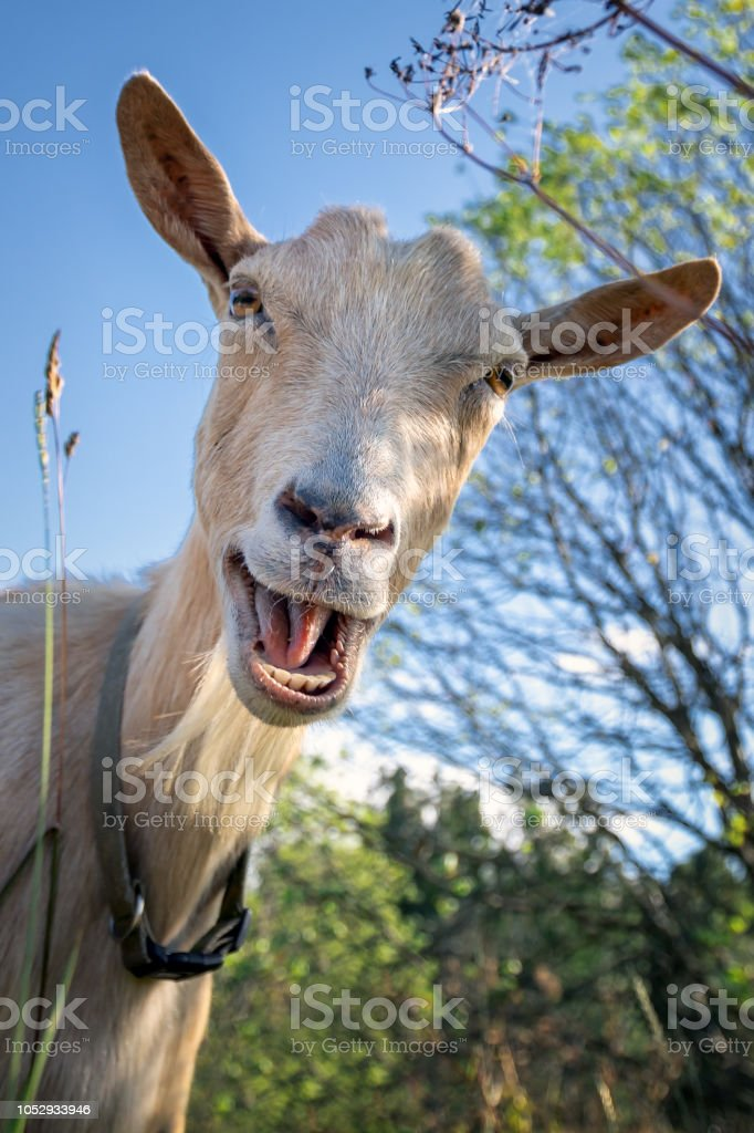 Funny goat as if would say hey royalty-free stock photo