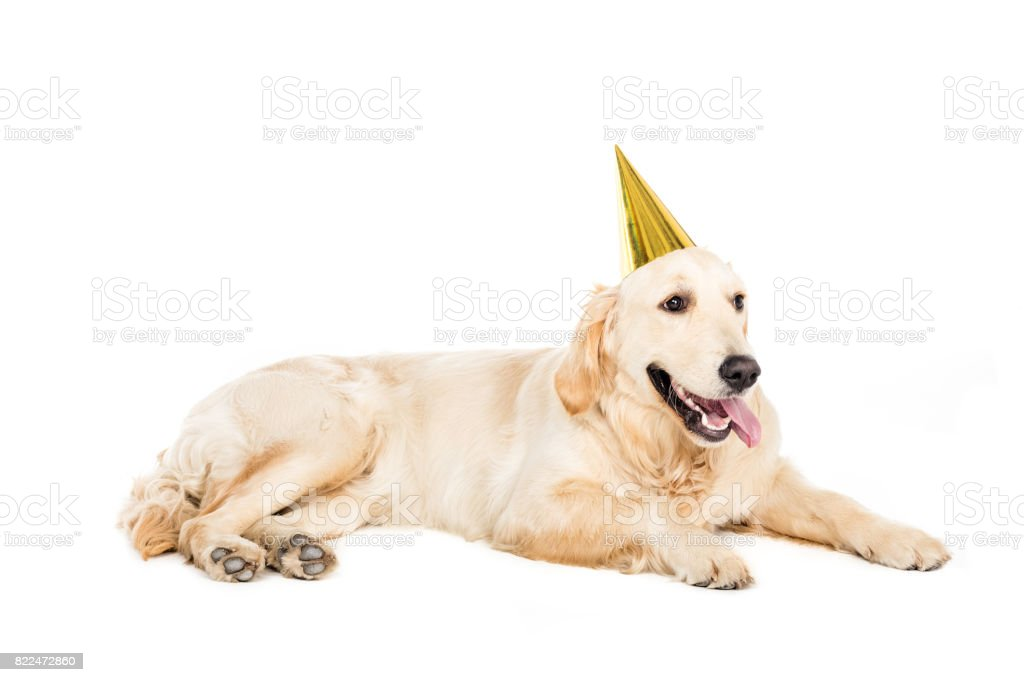 Funny Golden Retriever Dog In Golden Party Hat Isolated On White