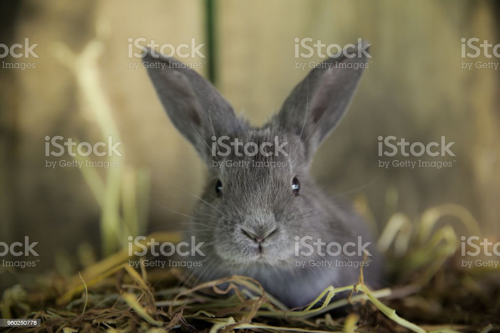 Gray Baby Bunny in Hay, Country Wood Panel Background