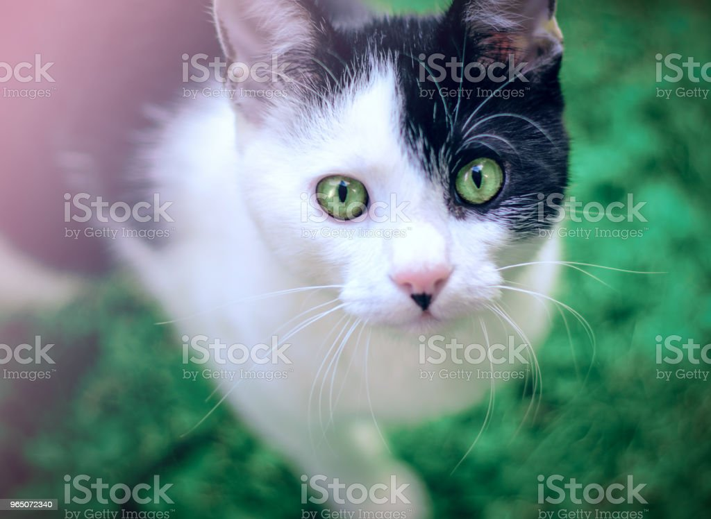 funny green-eyed cat looking directly at camera zbiór zdjęć royalty-free