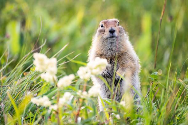 marmota divertida con piel esponjosa - groundhog day fotografías e imágenes de stock