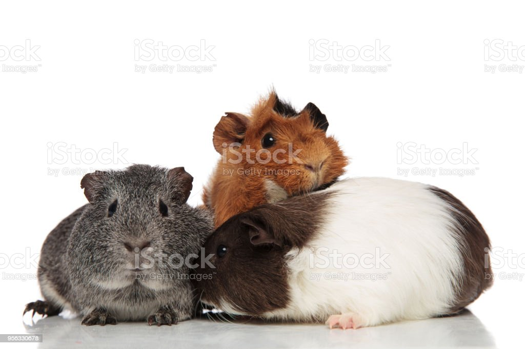 funny guinea pig friends playing together stock photo