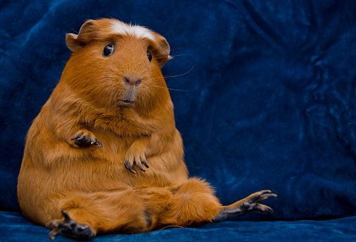 Funny guinea pig sitting in a funny pose on the dark blue background (with copy space on the right)