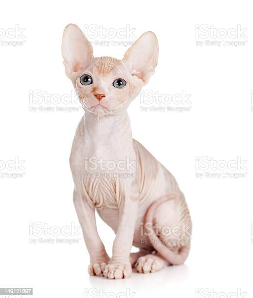 Funny hairless sphynx kitten isolated picture id149121897?b=1&k=6&m=149121897&s=612x612&h=u1x03po7p7wfmnqnn6qtww0deo2g4t xz4yf4vtpr8g=