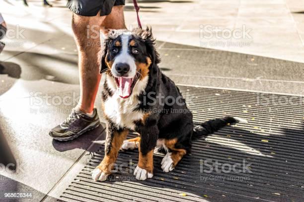 Funny happy australian shepherd dog new york city midtown manhattan picture id968626344?b=1&k=6&m=968626344&s=612x612&h=knjqru3wjwhentcv16ltxv7j yzz4qdfwlzvrbgah1k=