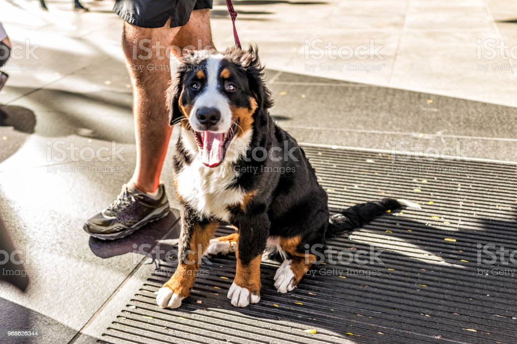 Funny happy Australian Shepherd dog New York City, Midtown Manhattan, NYC closeup with calico orange, black, white color, smiling, tongue out of mouth on street stock photo