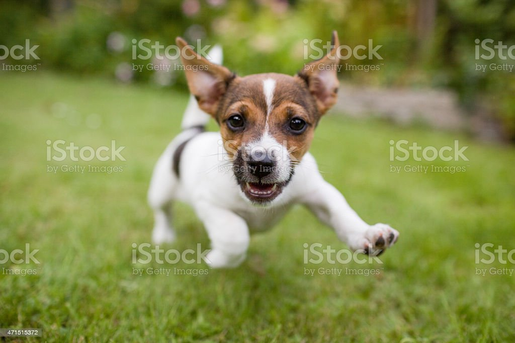 A playful puppy dog running around in the garden while looking...
