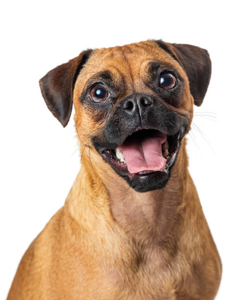 Funny happy pug beagle dog closeup picture id1210858403?b=1&k=6&m=1210858403&s=612x612&w=0&h=ru4fhn mncnwiy2f7 pdhy0n4qku4e3vnragyblqxr8=
