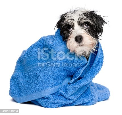 istock Funny havanese puppy after bath is covered with blue towel 492393284