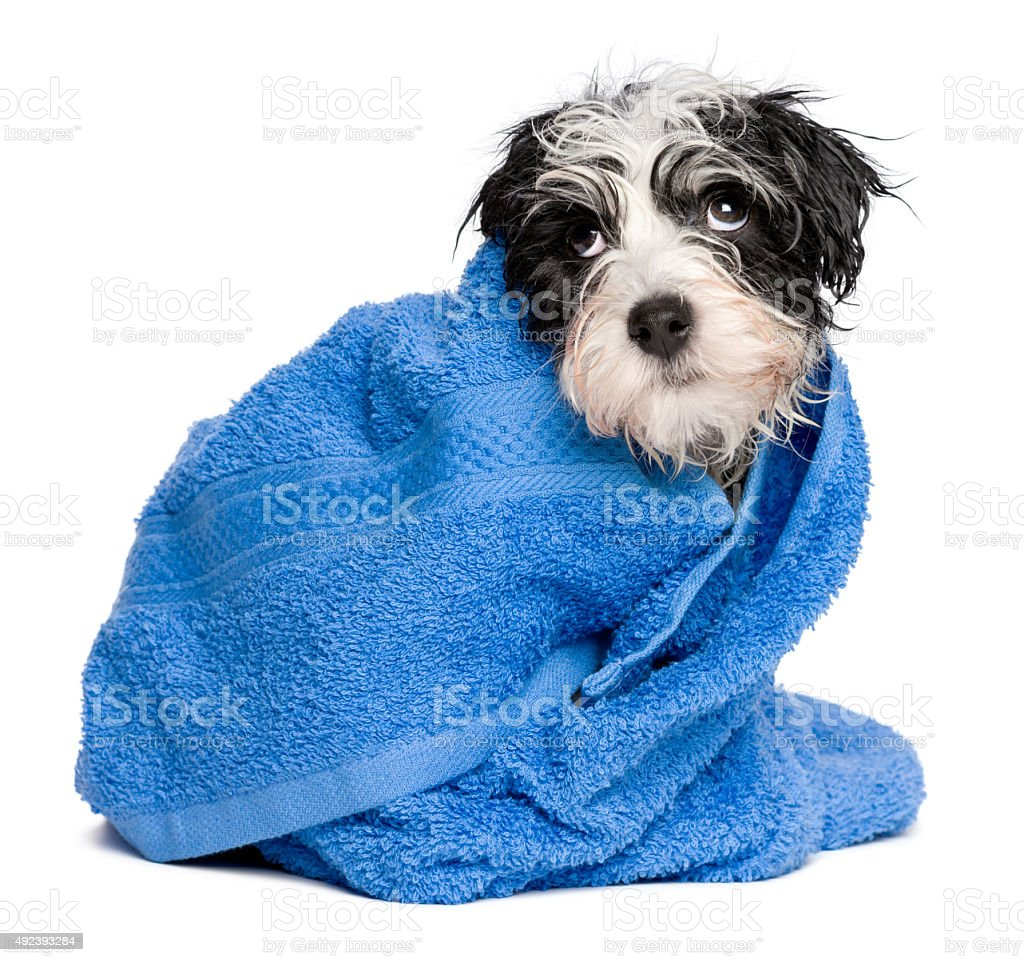 Funny havanese puppy after bath is covered with blue towel stock photo