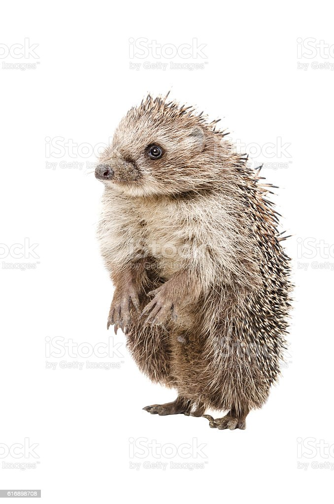 Funny hedgehog standing on his hind legs stock photo