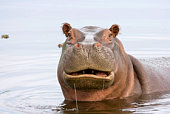 Hippo's mouth open in the water.