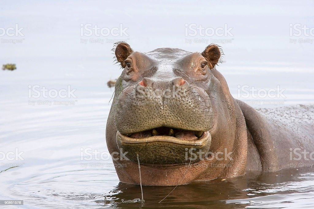Funny Hippo stock photo