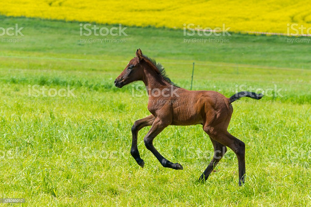 Funny horse foal playing on pasture with mother mare stock photo