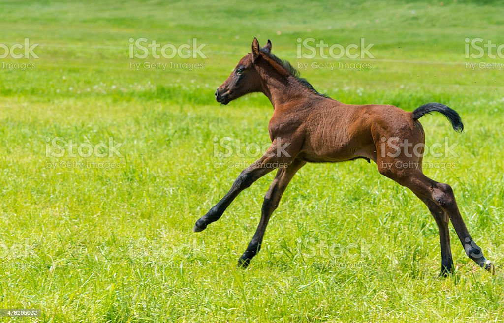 Funny Horse Foal Playing On Pasture With Mother Mare Stock Photo Download Image Now Istock