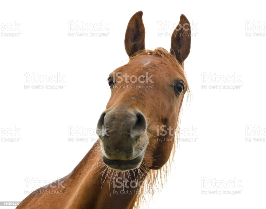 Funny Horse Head On White Background Arabian Horse Stock Photo Download Image Now Istock