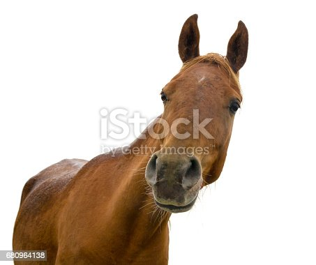 horse head on white background - arabian horse
