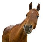 funny horse head on white background - arabian horse