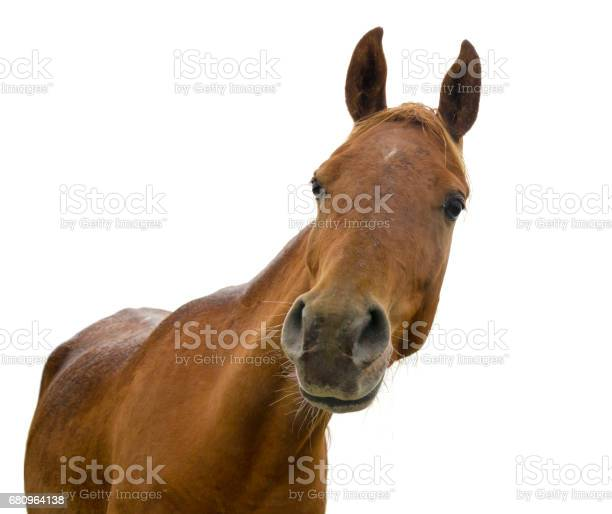 Funny horse head on white background arabian horse picture id680964138?b=1&k=6&m=680964138&s=612x612&h=zpsvfl4nev4mayy5kpmm 9hwj8gtbrvcwjogxse9tui=