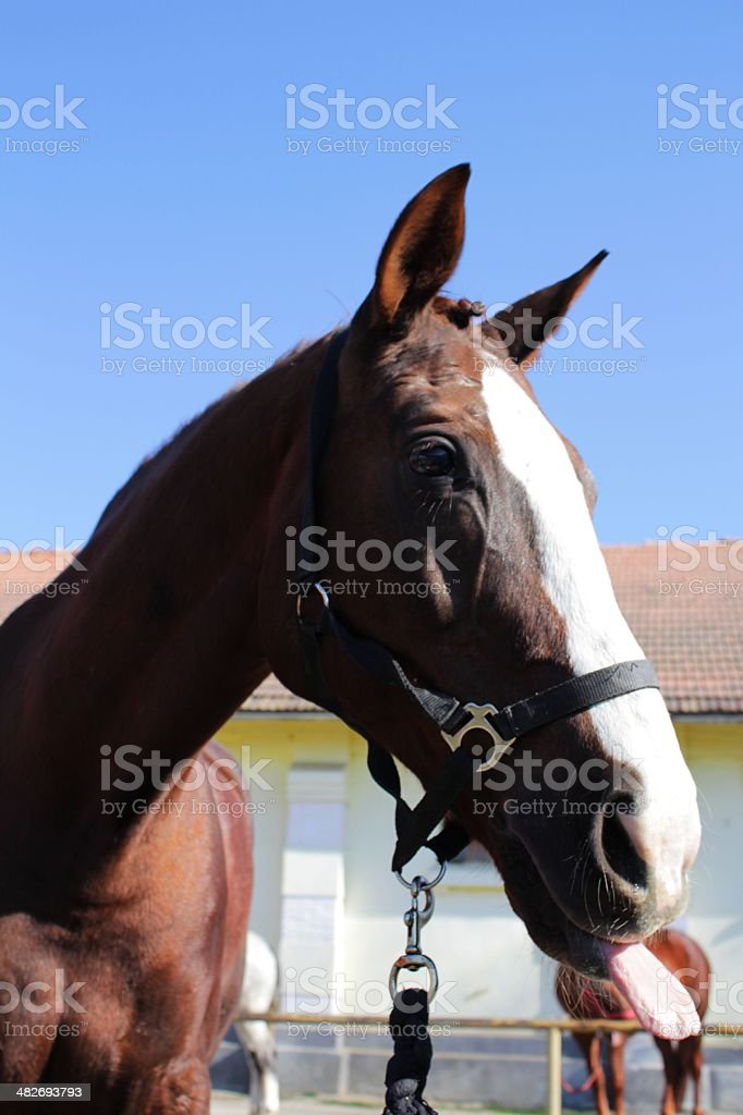 Funny Horse Head With Tongue Stock Photo Download Image Now Istock