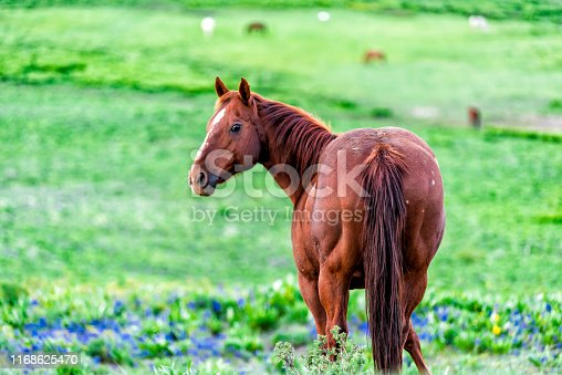 Funny horse looking back in Crested Butte, Colorado alpine meadows grazing on ranch by Snodgrass hiking path in summer with green grass and bluebell flowers