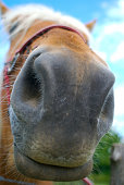 Bizarre and hilarious close up of a horse snout