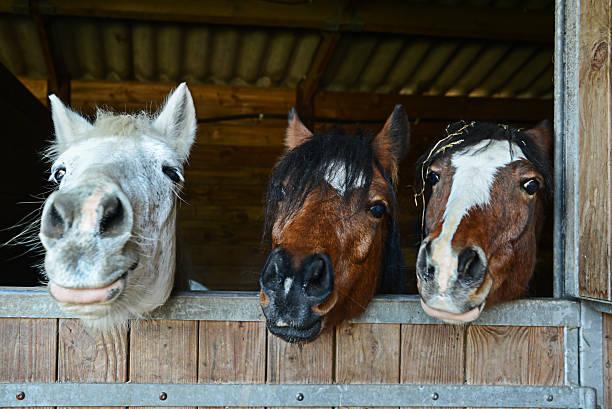 funny horses in their stable - lustige pferde stock-fotos und bilder