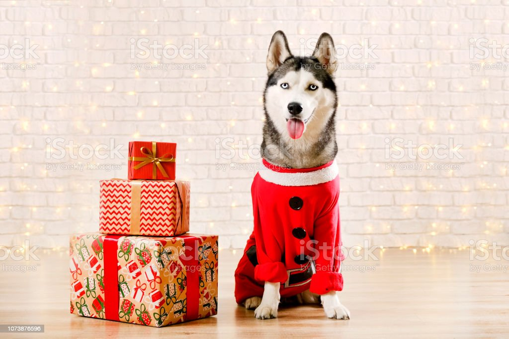 Funny Husky Dog In Red Santa Claus Coat Christmas Outfit Stock Photo Download Image Now Istock