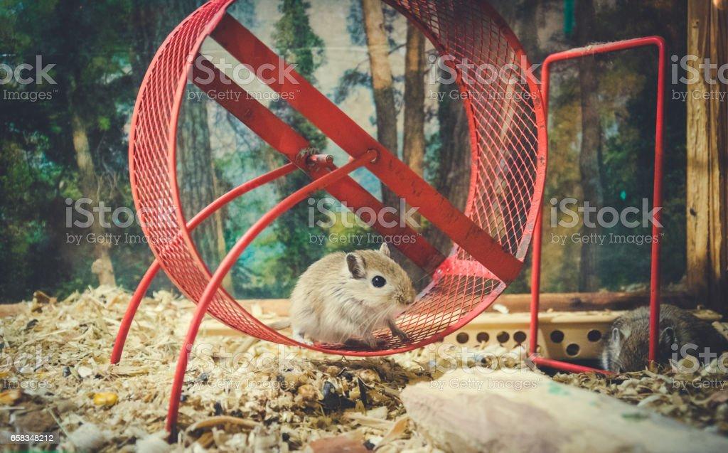 Смешной любознательный домашний мышонок stock photo