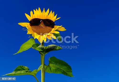 952436894istockphoto Funny isolated sunflower wearing sunglasses against deep blue sky 825138142