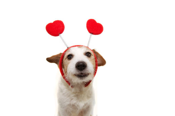 funny jack russell dog love wearing a heart shape diadem. valentine's day concept. Isolated on white background. funny jack russell dog love wearing a heart shape diadem. valentine's day concept. Isolated on white background. animal valentine stock pictures, royalty-free photos & images