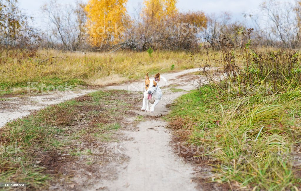 Jack Russell dog runs on rural road