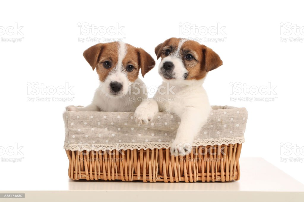 Funny jack russell puppies in the bed. Close up. Gray background stock photo