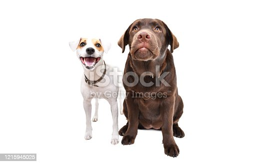 885056264 istock photo Funny Jack Russell terrier and Labrador puppy together isolated on white background 1215945025