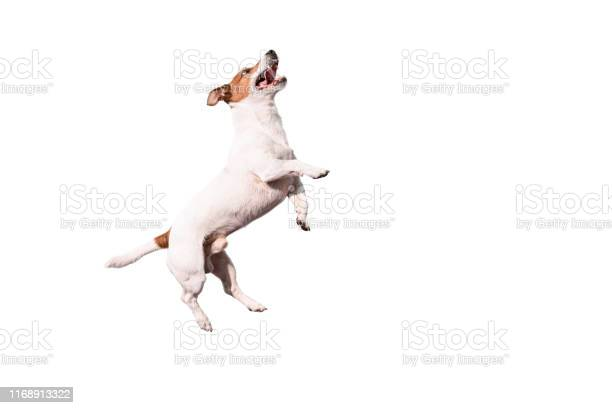 Funny jack russell terrier dog jumping up isolated on white picture id1168913322?b=1&k=6&m=1168913322&s=612x612&h=fligqeetcn1fkm3xz3kyifsjwnmafov5jhsiwypyyls=