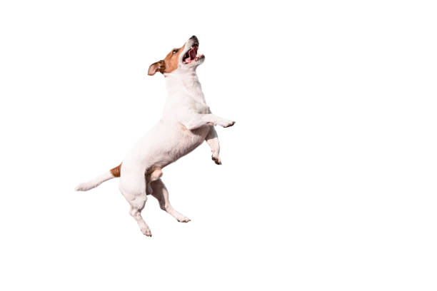 Grappige Jack Russell Terrier hond springen omhoog geïsoleerd op witte achtergrond foto