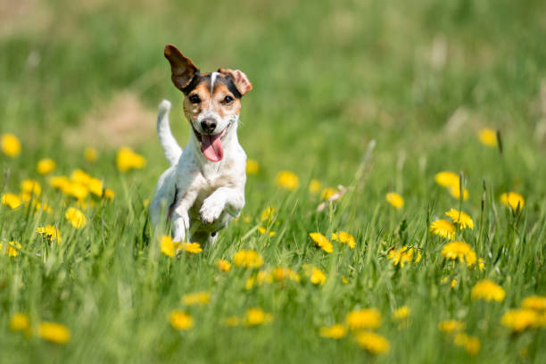 Funny jack russell terrier dog run in a green blooming meadow picture id1087892238?b=1&k=6&m=1087892238&s=612x612&w=0&h=e0glxervxets6kb pkqd6uocfhlro3lon5fem43hgs4=