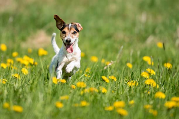 Lustige Jack Russell Terrier Hund in eine grüne, blühende Wiese laufen – Foto