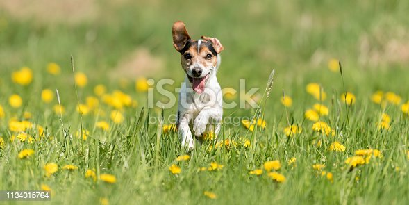 dog running comfortably on a spring meadow - purebred FCI Jack Russell Terrier 10 years old. Hair style smooth
