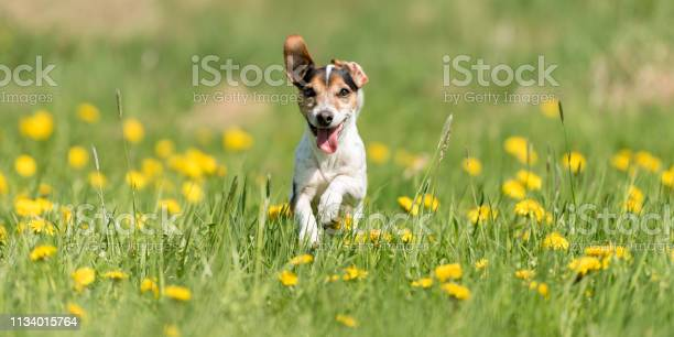Funny jack russell terrier dog run in a green blooming meadow picture id1134015764?b=1&k=6&m=1134015764&s=612x612&h=c7sozwgx3xyxek ilr oenh awbmvkgafh2dw8zkhtm=