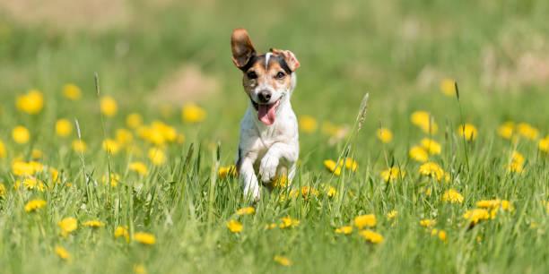 Lustiger Jack Russell Terrier Hund laufen in einer grünen blühenden Wiese – Foto