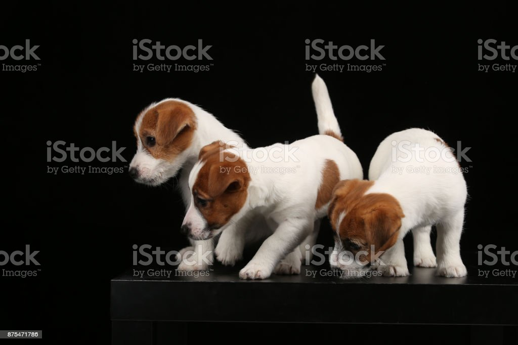 Funny jack russells. Close up. Black background stock photo