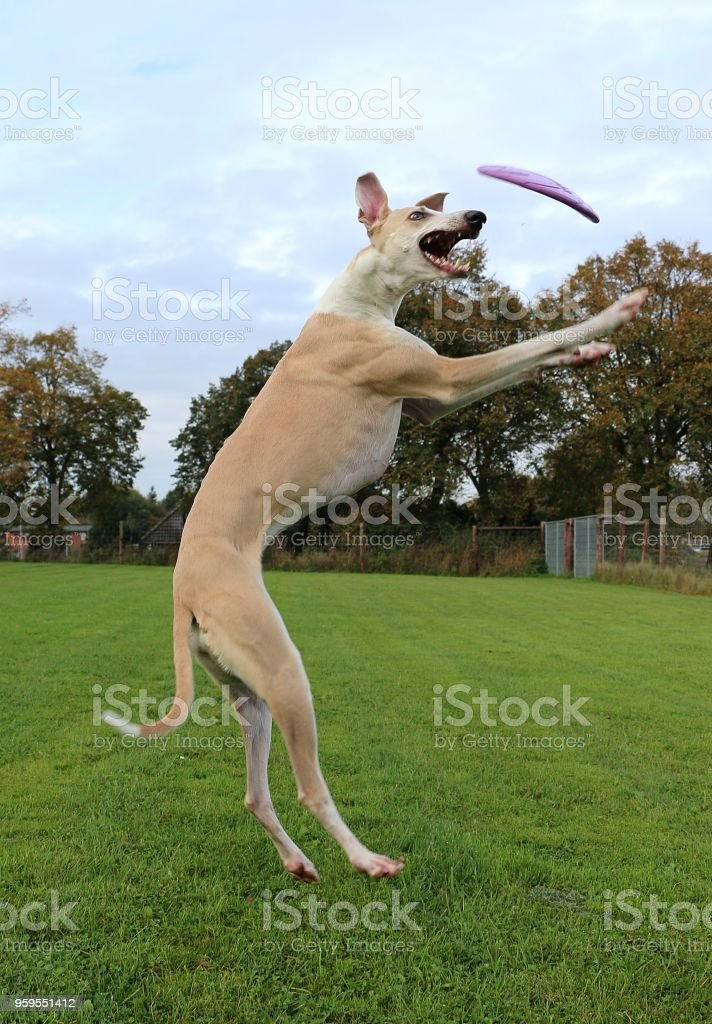 funny jumping galgo stock photo