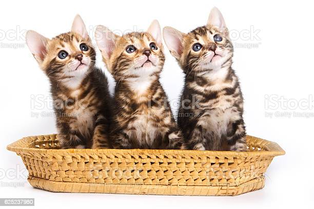 Funny kitten bengal cat picture id625237980?b=1&k=6&m=625237980&s=612x612&h=riepztoyjvdyhfp 4u17utdcbtawjsp eqspdve1ulu=